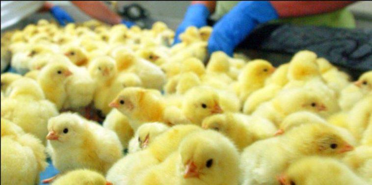 قانون جديد يحظر قتل ذكور الدجاج في ألمانيا