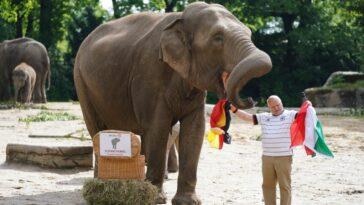 الفيل ياشودا يتوقع نتيجة مباراة اليوم بين ألمانيا والمجر